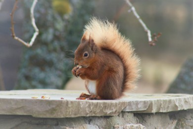 Red Squirrel in the garden at Cray House
