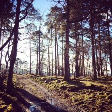 Beautiful Scots Pine trees on side of Loch Shiel, Scotland